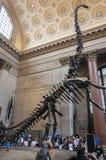 eople in Theodore Roosevelt Rotunda in het Amerikaanse Museum die van Biologie, het Barosaurus-skelet, in New York bekijken Stock Afbeelding