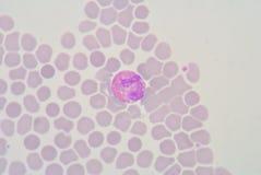 Eosinophil Stock Images
