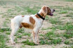 Epagneul不列塔尼人,西班牙猎狗不列塔尼人,布里坦尼西班牙猎狗, Bretonischer 库存图片