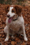 Epagneul breton. An hunting dog in the bush Stock Photos