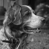 An Epagneul breton. Courtyard, outdoor. Sau, a middle aged dog Epagneul Breton also known as Brittany dog, is waiting for a walk, sitting at the courtyard stock photography