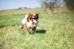Epagneul breton dog on the run. Breton dog in the hunt for prey royalty free stock images