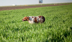 Epagneul breton dog on the run. Breton dog in the hunt for prey royalty free stock image