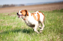 Epagneul breton dog on the run. Breton dog in the hunt for prey stock photo