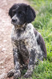 Epagneul Breton. Hunting dog sitting on hold Royalty Free Stock Photography