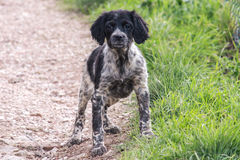Epagneul Breton. Hunting dog sitting position careful Royalty Free Stock Photo