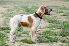 Epagneul Breton, spaniel breton, Brittany Spaniel, Bretonischer. Spaniel / hunting dog purebred Epagneul Breton looking at the Hunting Lodge stock image