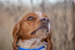 Epagneul Breton, spaniel breton, Brittany Spaniel, Bretonischer Spaniel hunting dog purebred Epagneul Breton looking at the. Hunting Lodge. Fall time royalty free stock image