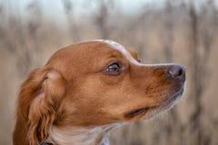 Epagneul Breton, spaniel breton, Brittany Spaniel, Bretonischer Spaniel hunting dog purebred Epagneul Breton looking at the. Hunting Lodge. Fall time stock photography