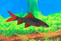 Epalzeorhynchos frenatum. Floating fish Stock Image
