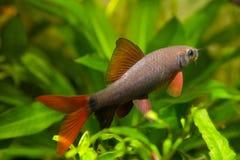 Epalzeorhynchosfrenatus, zoetwatervissen, aardaquarium, de foto van de close-upaard royalty-vrije stock fotografie
