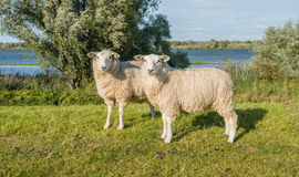 Eparmarked sheep on a sunny day at the end of the summer season Royalty Free Stock Photography