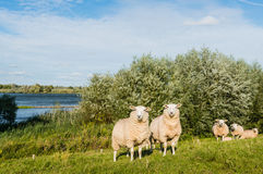 Eparmarked sheep on a sunny day at the end of the summer season Stock Image
