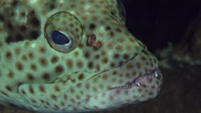 Epaulet grouper Epinephelus stoliczkae in coral of Red sea Sudan. Sanganeb stock video footage