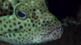 Epaulet grouper Epinephelus stoliczkae in coral of Red sea Sudan. Sanganeb stock video