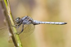 Epaulet Skimmer (Orthetrum chrysostigma) Royalty Free Stock Image