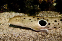 Epaulette Shark Portrait Royalty Free Stock Image