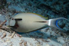 Epaulette surgeonfish Royalty Free Stock Images