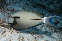 Epaulette surgeonfish Royalty Free Stock Images