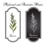 Epazote Dysphania ambrosioides, eller wormseed mexikansk te, kulinariskt och medicinalväxt royaltyfri illustrationer