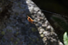 Epeira diadema, Araneus diadematus. Epeira headband. Cross spider. Weaving spider sun. With rock bottom. Galicia. Spain.  European garden spider. barn spider Royalty Free Stock Photography