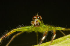 Epeus jumping spider, macro shot. Picture or macro shot of a green jumping spider Stock Photos