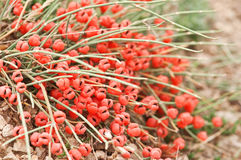 Ephedra Royalty Free Stock Images