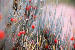 Ephedra Royalty Free Stock Photo