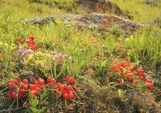 Ephedra equisetina στη λίμνη Baikal Στοκ εικόνες με δικαίωμα ελεύθερης χρήσης