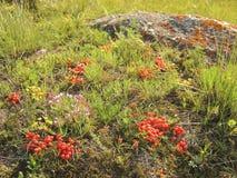 Ephedra equisetina στη λίμνη Baikal Στοκ Εικόνες