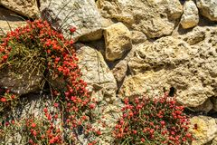 Ephedra horsetail plant growing between the stones in the wall. Stock Photos