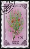 Ephedra sinica lub chińczyka ephedra, serie poświęcać kwiaty, około 1986 Fotografia Royalty Free