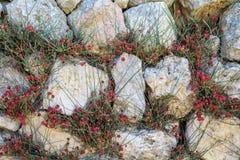Ephedrahorsetail installatie het groeien tussen de stenen in de muur stock foto