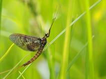 Ephemera в траве стоковое изображение