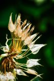Ephemeral. Dandelion close up Royalty Free Stock Images