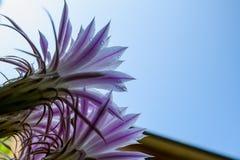 Ephemere Blumen des Kaktus Stockbild