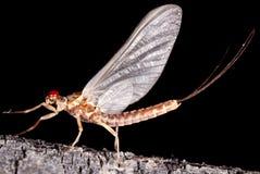 Ephemerella aurivillii mayfly dun (subimago)
