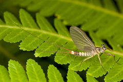 Ephemeroptera - Upwinged voa ou Mayflies Fotos de Stock