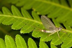 Ephemeroptera - Upwinged vola o Mayflies Fotografie Stock