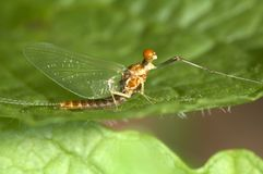 Ephermeral. Closeup on ephermeral, also called Mayfly Stock Image