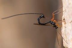 Ephialtes manifestator parasitic wasp ovipositing into bee tunnel Stock Photos