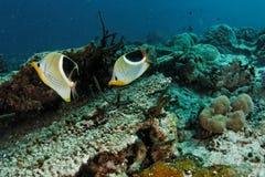 Ephippium de Chaetodon - butterflyfish selado Imagem de Stock Royalty Free