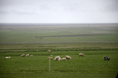 Epic Landscape in Iceland with green grass sheep 2 Stock Photos