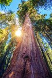 Epic Sequoia Place. In the Middle of Sequoia National Park Forest. Summer Day. California, USA Stock Photos