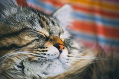 Epic sleeping cat. Macro close-up detail of cute cat pet sleeping on a sunny day - focus detail on the sweet face royalty free stock image