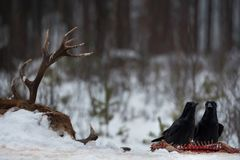 Two Black Ravens  Corvus Corax   Are Sitting On The Remains Of. Epic Story With Dead Deer And Raven. Two Black Ravens  Corvus Corax   Are Sitting On The Remains Royalty Free Stock Photo