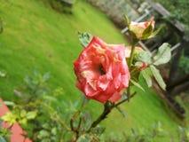 Epica della rosa di rosa Immagini Stock