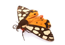 Epicallia villica butterfly Stock Photos