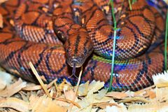 Epicrates cenchria cenchria. Rainbow snake, tree boa, herpetology hobby Royalty Free Stock Photo