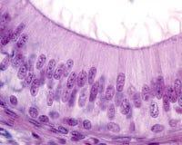 Epidídimo Epitélio columnar de Pseudostratified imagem de stock